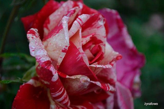 roza 2016_19