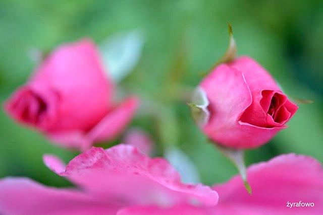 roze_01