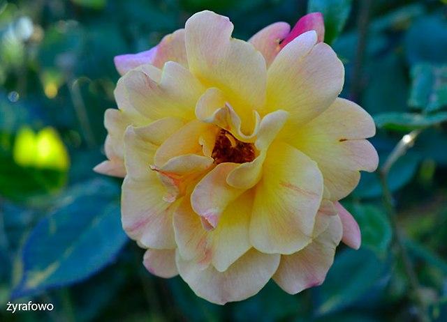 roze_10