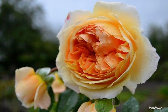 roza 2016_18