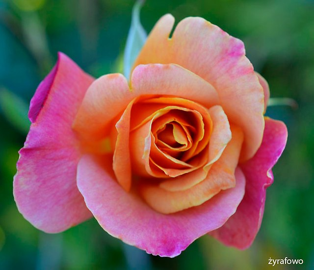 roze_03