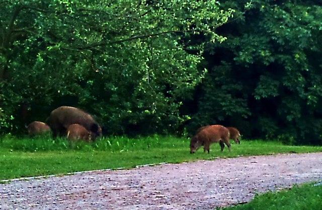 Dziki w Parku Reagana 1