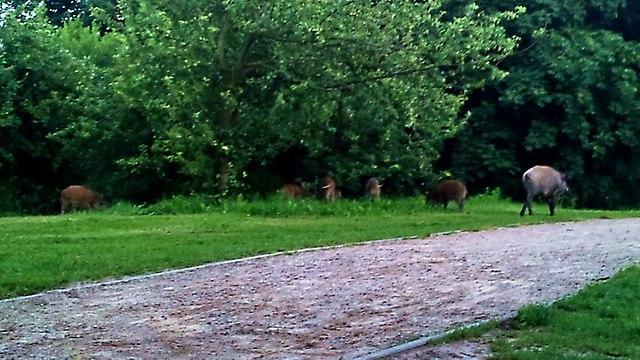 Dziki w Parku Reagana 2